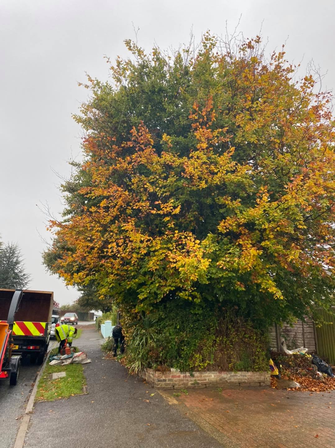 Beech trees Removal Oct 21-2020