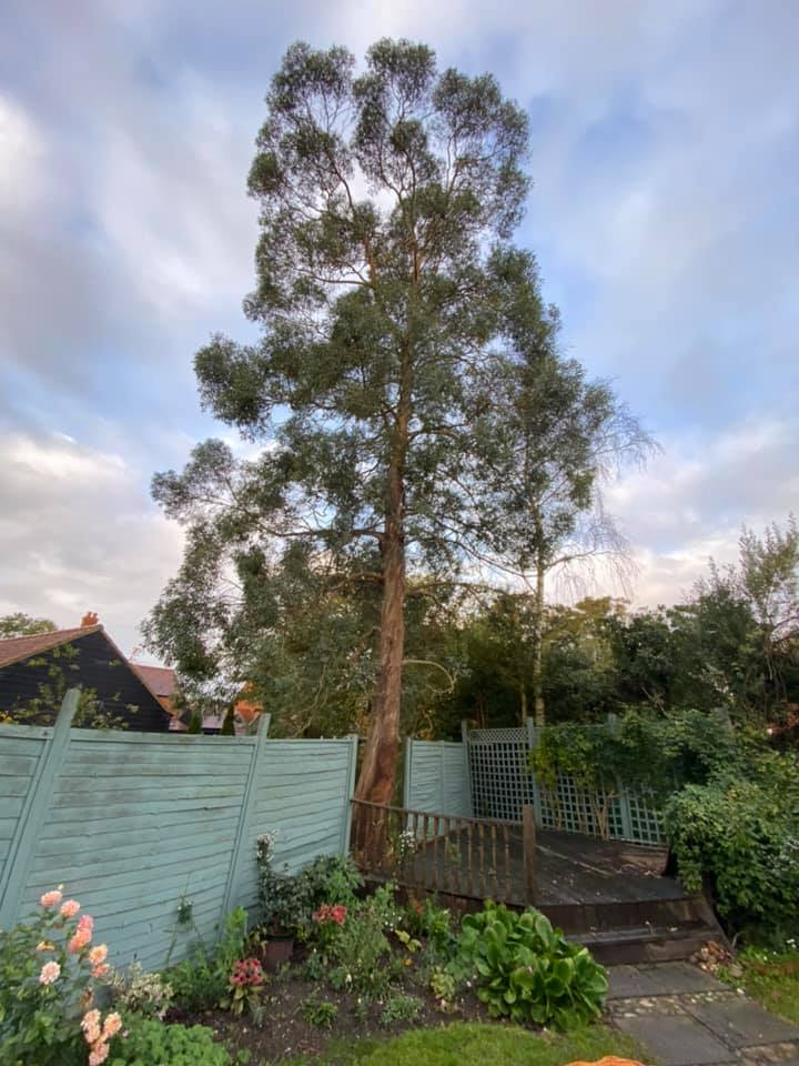 Eucalyptus tree removal