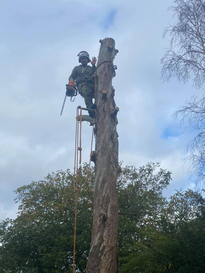 Eucalytpus tree removal oct 16-2020