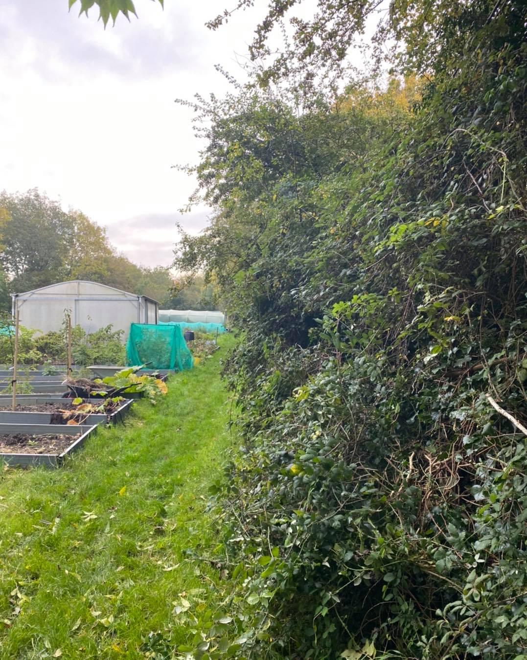 overgorwn hedge before oct20-2020jpg