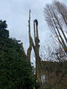 poplar tree takedown - Nov11-2020